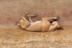 Sleeping Dog in Peru